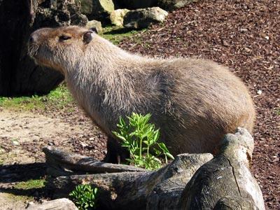 un bon gros capibara