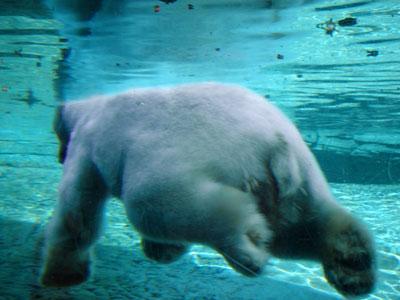 un gros n'ours blanc