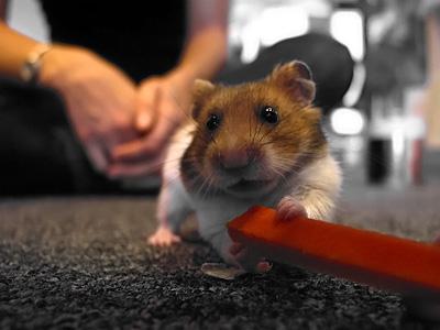 le hamster mange une carotte