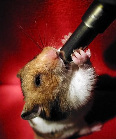 le hamster se désaltère