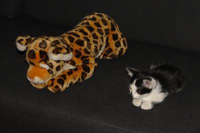 Jacana et le chaton n°4
