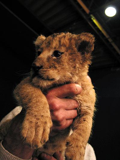 Romuald présente son lionceau
