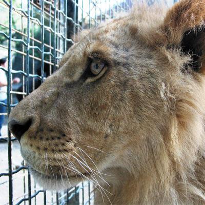 une lionne d'Indra