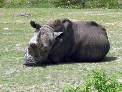 rhinocéros d'Afrique