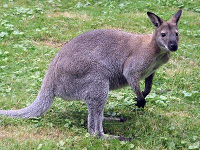 un wallaby aux aguets