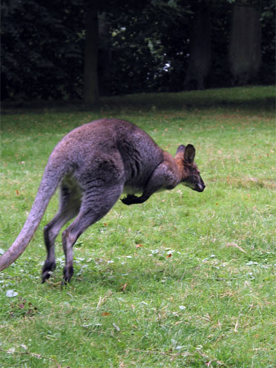WALLABY !!!!!!